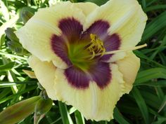DOCTOR WHO X TET DEVIL'S FOOTPRINT Daylilies forum: May Seedling Blooms (All Things Plants)