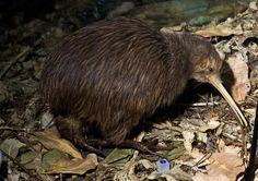 north island brown kiwi - Google Search