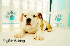 *Engllish Bulldog Puppies* Is this breed the right one for you and your family? Check out more about this breed through watching this video on Dogs 101: http://animal.discovery.com/tv-shows/dogs-101/videos/english-bulldog.htm