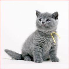 British blue kitten - One day ...