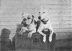 LORD RECTOR (ENGLISH BULLDOG) & JACK (ENGLISH WHITE BULL TERRIER)~CIRCA 1918