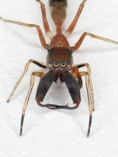 This is a jumping spider from Borneo. Have you ever seen a more frightening looking spider?