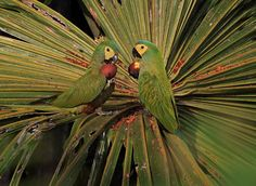 Photo Red-bellied Macaw (Orthopsittaca manilatus) by Anselmo d`Affonseca   Wiki Aves - The Encyclopedia of Brazilian Birds