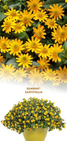 The petite sunny yellow flowers on 'Sunbini' Creeping Zinnia are extremely heat tolerant. This long blooming annual makes an excellent choice in containers - hanging baskets, window boxes and combination planters, where its mounded habit functions as a filler. Deadheading is not required for continuous bloom. Enjoy this sun loving plant from planting until frost! Yellow Plants, Yellow Flowers, Colorful Flowers, Container Plants, Container Gardening, Deadheading, Sun Loving Plants, Landscape Maintenance, Border Plants
