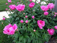 Peonies early Spring