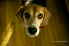This is part 4 of my 5 part series on where the Christmas 11 ( Beagle Freedom Projects Rescue are today. Beagles, Freedom, Christmas, Photography, Animals, Liberty, Xmas, Political Freedom, Photograph
