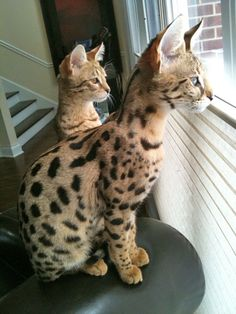 jn - Savannah Cat - Ideas of Savannah Cat - adorable!jn Savannah Cat Ideas of Savannah Cat adorable!jn The post adorable!jn appeared first on Cat Gig. The post adorable!jn appeared first on Cat Gig. Pusheen Cat, Grumpy Cat, Le Savannah, I Love Cats, Cute Cats, Kittens Cutest, Cats And Kittens, Cat Site, Serval Cats