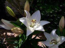 lirio flor | Cuidar de tus plantas es facilisimo.com