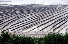 https://flic.kr/p/ex8yN3 | Sundried Kelp farm 曬海帶埸 | Xiapu, Fujian, China 褔建 霞浦