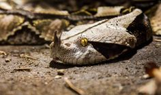 West African Gaboon Viper Gaboon Viper, All About Snakes, Rhinoceros, Reptiles And Amphibians, Animals Of The World, Mythical Creatures, Exotic, Wildlife, African