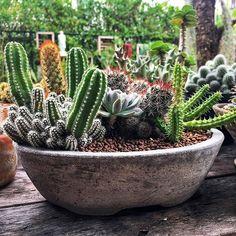 : @badzboy # #cactus #succulent #succulents #cacti #cacto #kaktus #кактус #多肉植物 #多肉 #サボテン #仙人掌 #선인장 #kaktüs #cactos #Cactaceae #nature #plant #plants #گیاه #ساکیولنت #کاکتوس #ساکولنت #succulove #cactuslover #cactusclub #cactusmagazine #cactuslove #cactuspremium #cactusgram . please see my other pages: . @amin_hajimohamadi_ @amin__hajimohamadi