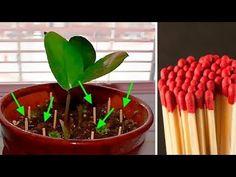 Włóż Zapałki do Ziemi Po Co? Efekt Niesamowity | Kwiaty Doniczkowe Pielegnacja - YouTube