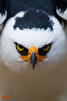 Black And White Hawk-Eagle