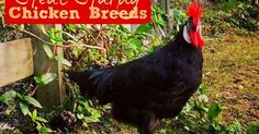 Fresh Eggs Daily®: 20 Heat-Hardy Chicken Breeds