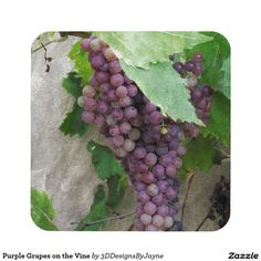 Purple Grapes on the Vine Coaster