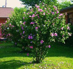 Habiscus Shrub - again, beautiful when flowering.