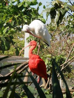 Red and White Ibis in Grand Cayman