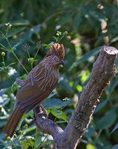 The Striated Laughingthrush (Garrulax striatus) is a bird species in the Leiothrichidae family. In the proposed rearrangement of the laughingthrushes, it is placed in the monotypic genus Grammatoptila, as G. striata.  It is found in the northern temperate regions of the Indian Subcontinent and ranges across Bhutan, India, Myanmar, Tibet and Nepal.