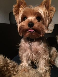 21 Ideas For Dogs And Puppies Yorkie Yorkshire Terrier Yorkies, Yorkie Puppy, Teacup Yorkie, Cute Puppies, Cute Dogs, Dogs And Puppies, Perros Yorkshire Terrier, Yorkshire Dog, Yorkshire England