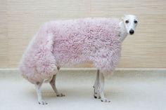 Greyhound wearing a pink rug!