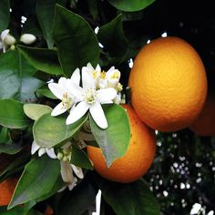 Neroli is the healing aid in our #anxietyrelief blend   #aromatherapyhealing #naturalremedy #blog  http://www.labaroma.com/blog/2014/01/dont-stress-have-some-anxiety-relief/