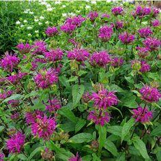 Hestemynte (Monarda hybrid ´Blaustrumpf´) Plants, Flora, Plant
