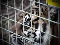 https://flic.kr/p/P2N6tp | Behind the Wire | South Lakes Wild Animal Park, Cumbria.  Is the wire to protect, us from her … or…her from us?  Sumatran Tiger (Panthera Tigris Sumatrae)  The Sumatran tiger as its name suggests is found only on the island of Sumatra in Indonesia. It is the smallest of the tigers alive today – a Sumatran male will measure an average of 2.4m from its nose to the tip of its tail and weigh between 100-170kg. Like all tigers the Sumatran is critically endangered…
