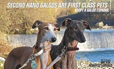 Second hand galgos are first class pets