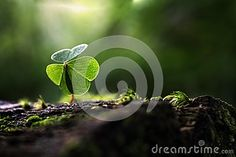 A close up of a green three leaf clover.