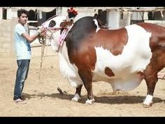 Beautiful and biggest cow Qurbani   Eid Ul Adha 2016 Pakistan - YouTube