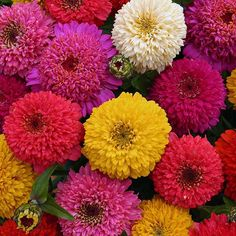 Zinnia Seeds - 116 Zinnias - Huge Selection of Annual Flower Seeds Bright Flowers, Cut Flowers, Bright Pink, Butterfly Garden Plants, Zinnia Elegans, Tall Plants, White Plants, Easy Care Plants, How To Attract Hummingbirds
