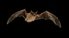 """Bats are dependent upon echolocation to catch their insect prey. But competition for resources is fierce among bats, so they've evolved the capacity to """"jam"""" the signals of other bats to send them off target. 