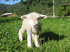 ovelha fofa - Pesquisa Google