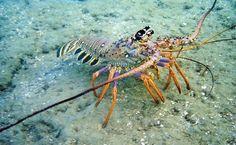 Lagosta no mar de Porto de Galinhas. O mergulho é uma das atrações da vila e inclui fotos subaquáticas