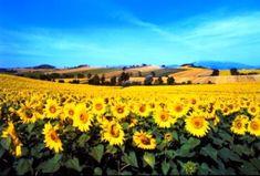 Pense em um lugar cravado bem no centro da Itália… Imagine um imenso jardim colorido e repleto de girassóis,...