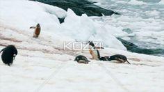 video of gentoo penguin walking in the antarctic - Video of penguin walking in snow towards crowd.