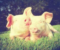 Love pigs