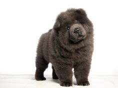 chow chow.  so cute this is what Gemini looked like as a puppy!!!