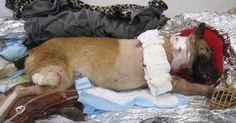 Deze Herder redt het leven van een soldaat. Wat de militair dan doet. Respect! - Trendingalleries
