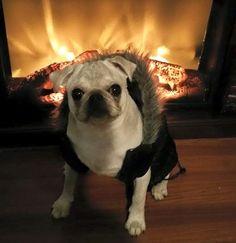 Cute White Pug Puppy Owner: Carolyn Crosby