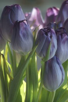More Purple Tulips