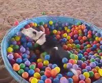 """""""O GRITO DO BICHO"""": Cachorro se acaba numa piscina de bolinhas"""