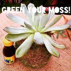 KOKEDAMA PHOENIX Easy touch up for fuzzy moss. Use healthy green food coloring😊 #green #healthy #touchup  #foodcoloring  #kokedama #sycculents  #cactus #moss #mossballs #mossterrarium #desertplants #plantcare #plantaddict #meditation #help Moss Terrarium, Green Food Coloring, Desert Plants, Plant Care, Air Plants, Bonsai, Phoenix, Cactus, Planter Pots