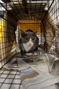 """In an effort to curb Austin's (Texas) feral cat population, the Austin Humane Society has since 2007 operated a free Trap-Neuter-Return program. T-N-R is a volunteer-led effort to trap strays and ferals, get them to the AHS clinic to be fixed (dewormed, given shots, and to have one ear """"tipped"""" so that they can be identified from afar as fixed) and then returned to the streets, where they often live in colonies – groups of cats that volunteers generally continue to feed and to tend to for years."""