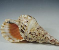 Japanese Vintage Conch Shell (Horagai (法螺貝) or Pacific Triton's from manyfacesofjapan on Ruby Lane