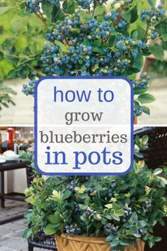 Learn how to easily grow blueberries in pots.  Gardening, Indoor Gardening, Container Gardening, how to Grow Blueberries, Blueberry Growing Tips and Tricks, Fruit Gardening, Fruit Gardening Hacks
