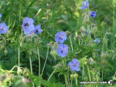 Bodziszek łąkowy Flora, Herbs, Nature, Plants, Diy, Nutella, Gardening, Naturaleza, Bricolage