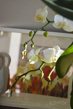 Orchidea szépségversenyt hirdettünk Facebook oldalunkon, rengeteg gyönyörű virágról kaptunk képeket Olvasóinktól (a fotókat ITT lehet látni). Többen írták, hogy náluk nem maradnak sokáig szépek, elvirágzás után nem hoznak bimbót ezek a csodálatos, egzotikus növények. Összefoglaljuk az orchidea gondozásával kapcsolatos főbb tudnivalókat, személyes tapasztalatainkat is beleszőve. Az orchideákról sokan gondolják úgy, hogy kényes, nehezen nevelhető növények, ez azonban csak részben igaz. Számos… Neon, Plants, Neon Colors, Plant, Planets, Neon Tetra