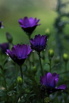 Raindrops on Purple Flowers