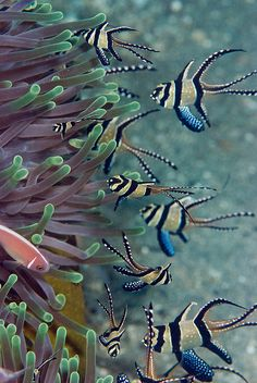 "Banggai Cardinalfish, Anemone and Anemone Fish ~ Miks' Pics ""Sea Life ll"" board @ http://www.pinterest.com/msmgish/sea-life-ll/"